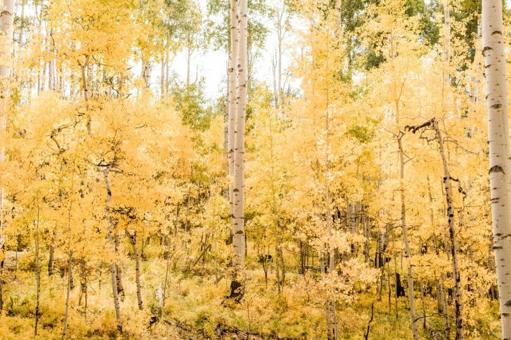 aspen trees changing colors outside of a cabin in the San Juan Mountains during a small Telluride wedding